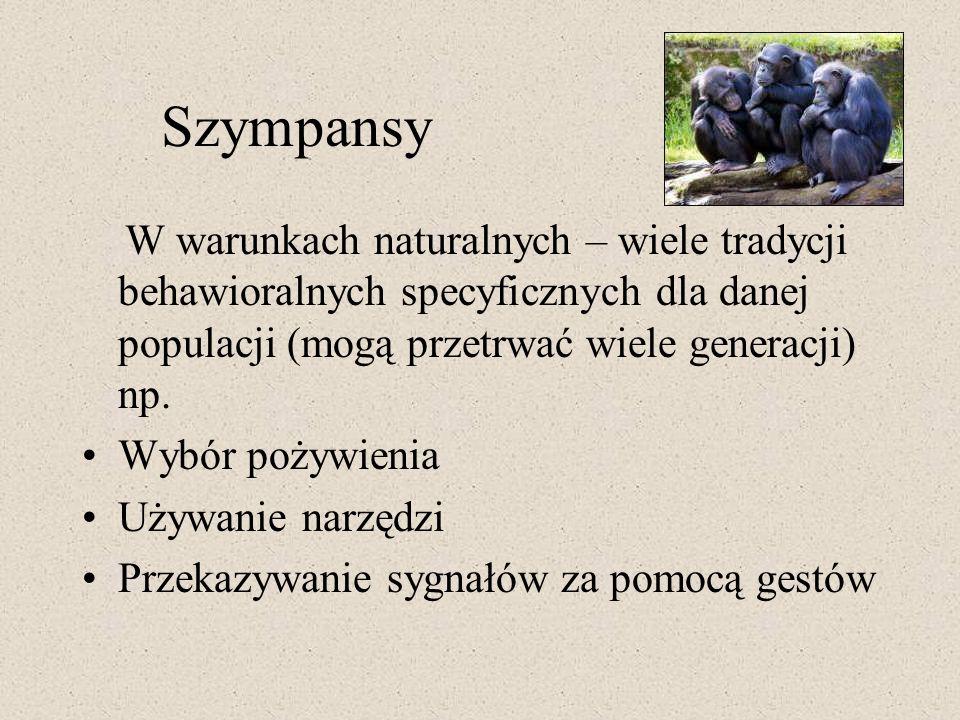 Szympansy W warunkach naturalnych – wiele tradycji behawioralnych specyficznych dla danej populacji (mogą przetrwać wiele generacji) np.