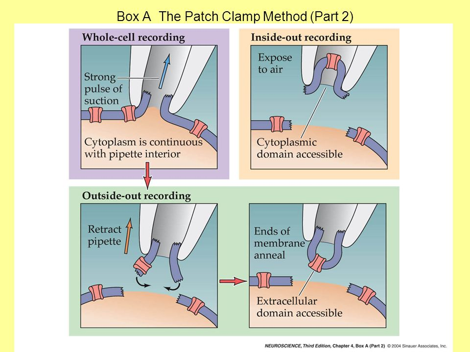 Box A The Patch Clamp Method (Part 2)