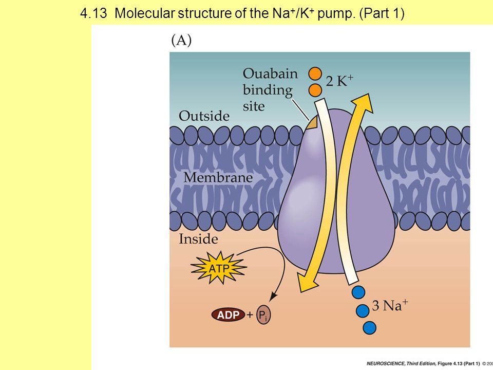 4.13 Molecular structure of the Na+/K+ pump. (Part 1)