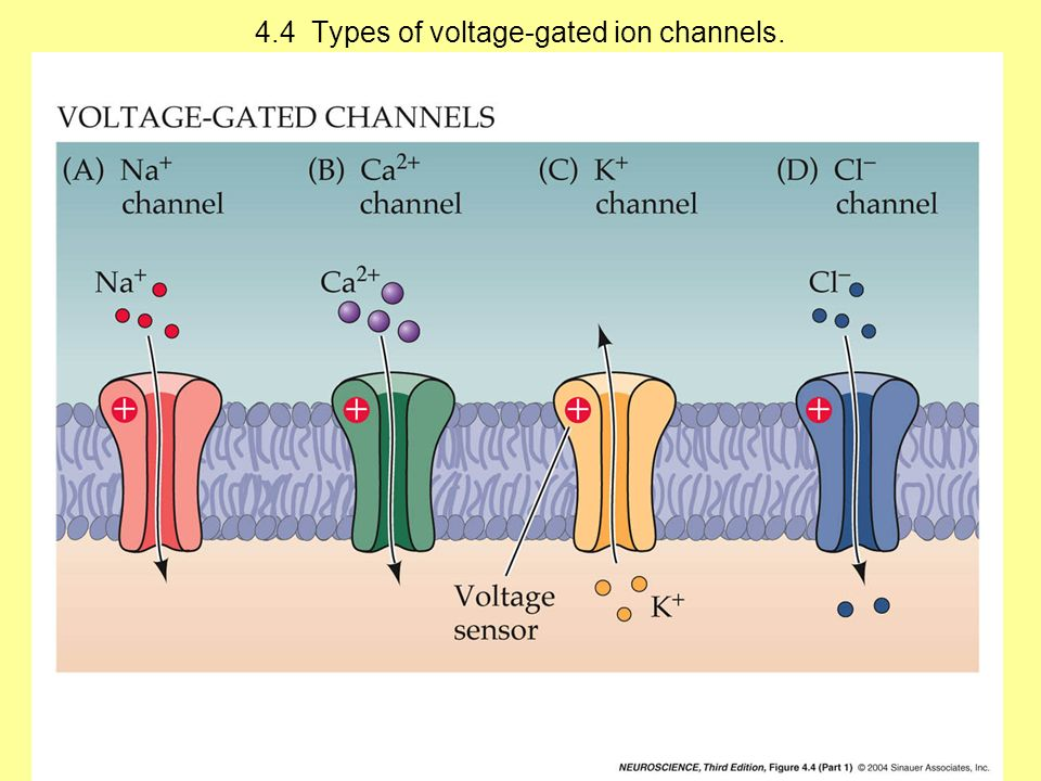 4.4 Types of voltage-gated ion channels.