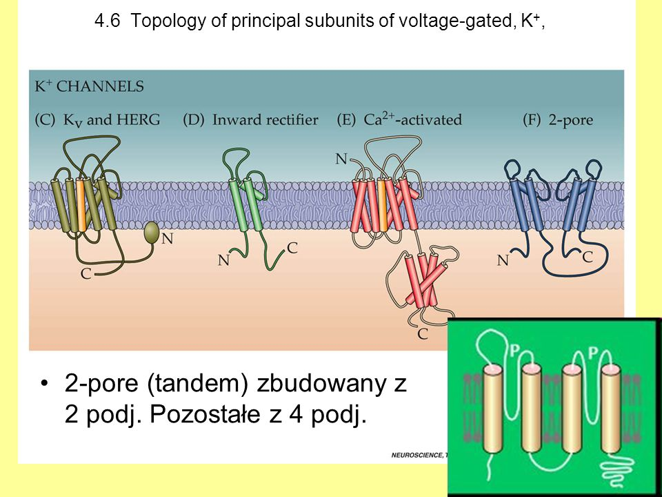 4.6 Topology of principal subunits of voltage-gated, K+,