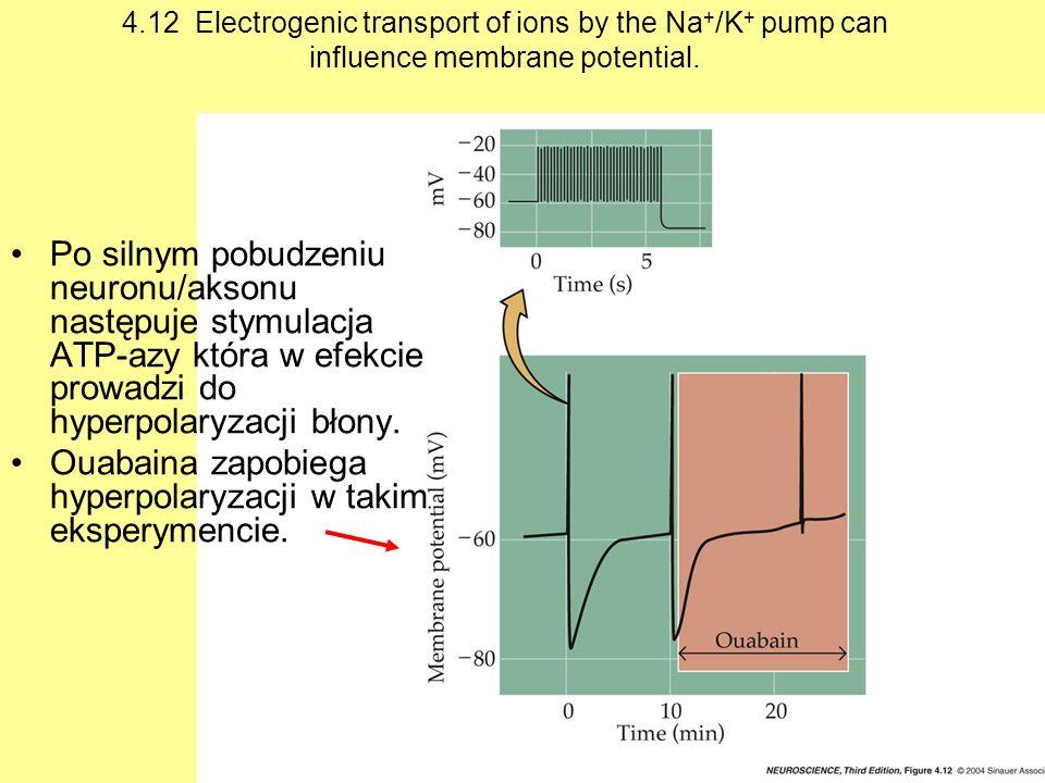Ouabaina zapobiega hyperpolaryzacji w takim eksperymencie.