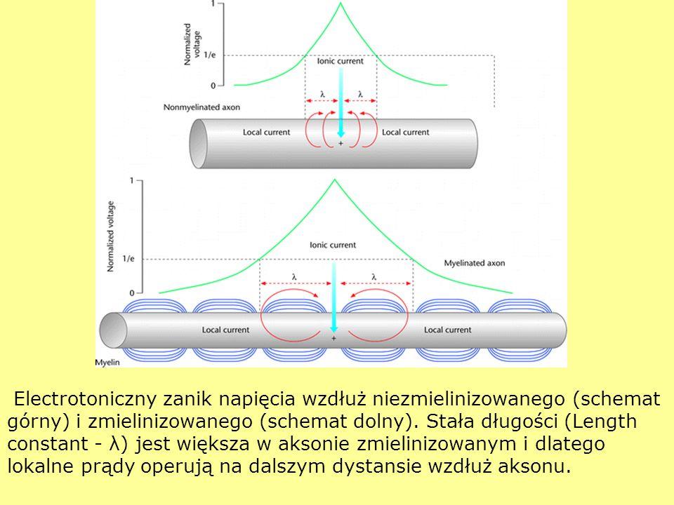 Electrotoniczny zanik napięcia wzdłuż niezmielinizowanego (schemat górny) i zmielinizowanego (schemat dolny).