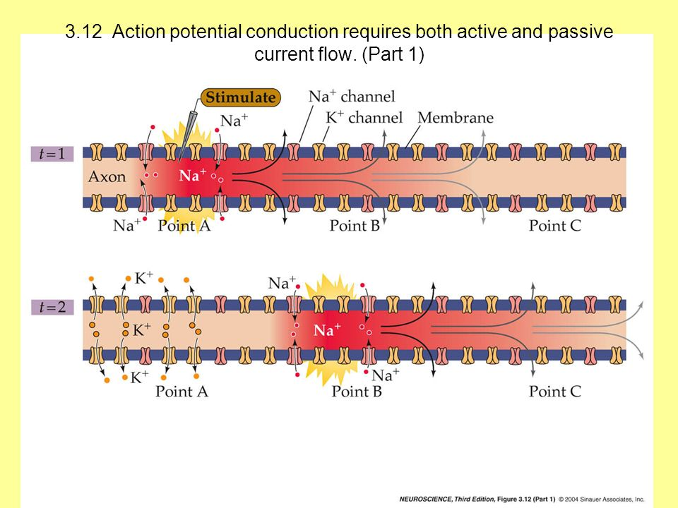 3.12 Action potential conduction requires both active and passive current flow. (Part 1)