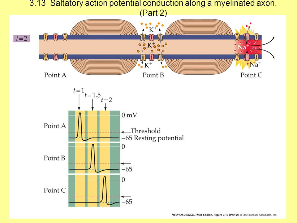 3. 13 Saltatory action potential conduction along a myelinated axon