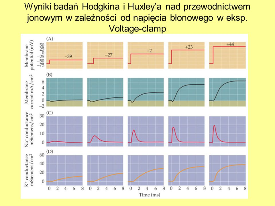 Wyniki badań Hodgkina i Huxley'a nad przewodnictwem jonowym w zależności od napięcia błonowego w eksp.