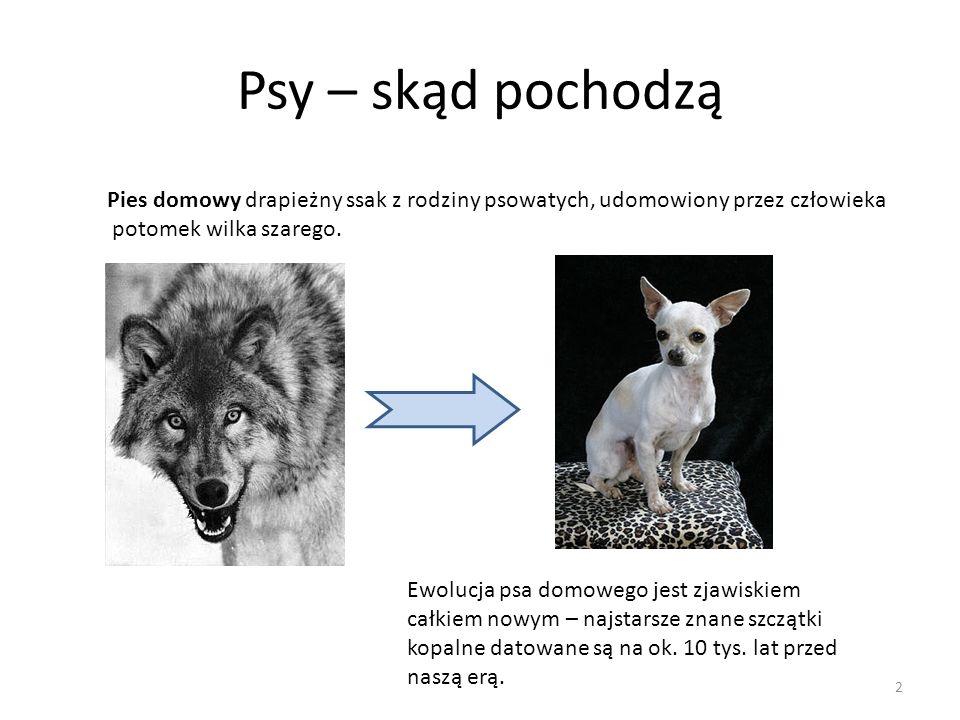 Psy – skąd pochodzą Pies domowy drapieżny ssak z rodziny psowatych, udomowiony przez człowieka. potomek wilka szarego.