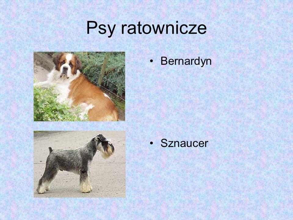 Psy ratownicze Bernardyn Sznaucer