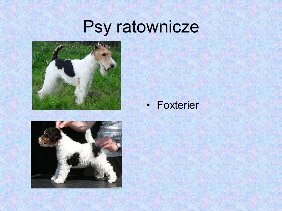 Psy ratownicze Foxterier