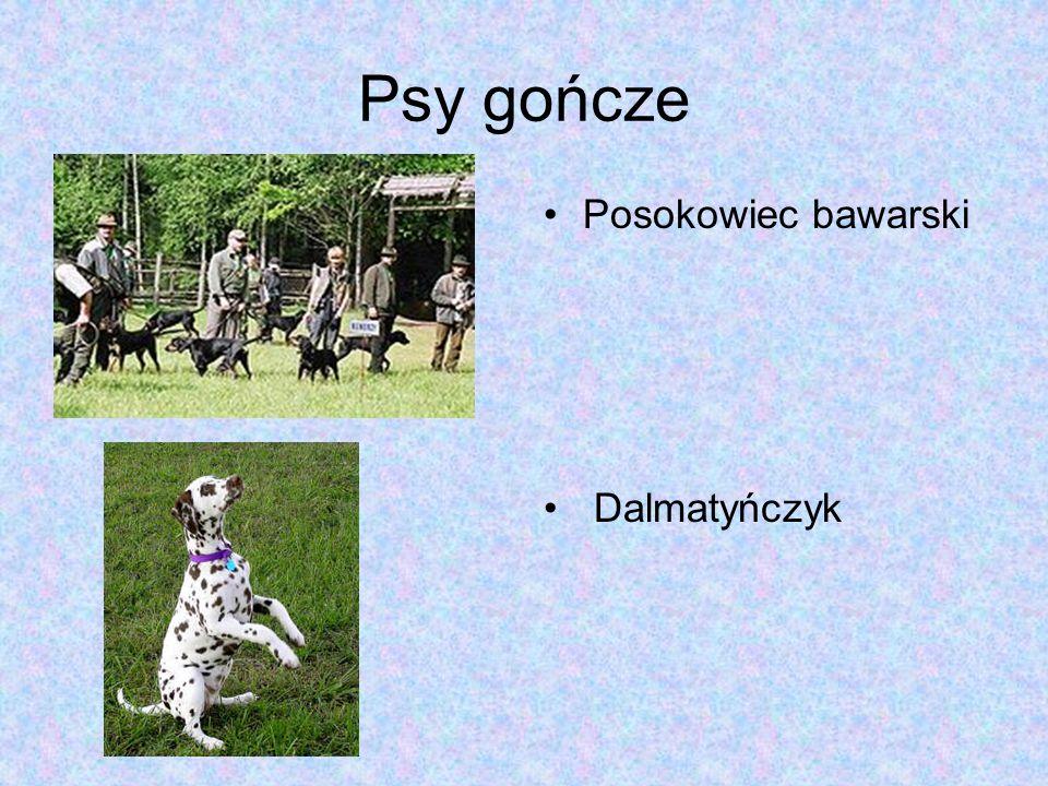 Psy gończe Posokowiec bawarski Dalmatyńczyk