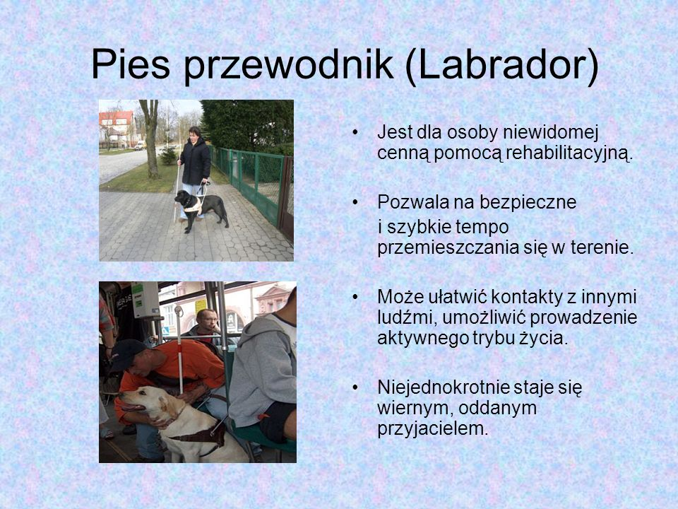 Pies przewodnik (Labrador)