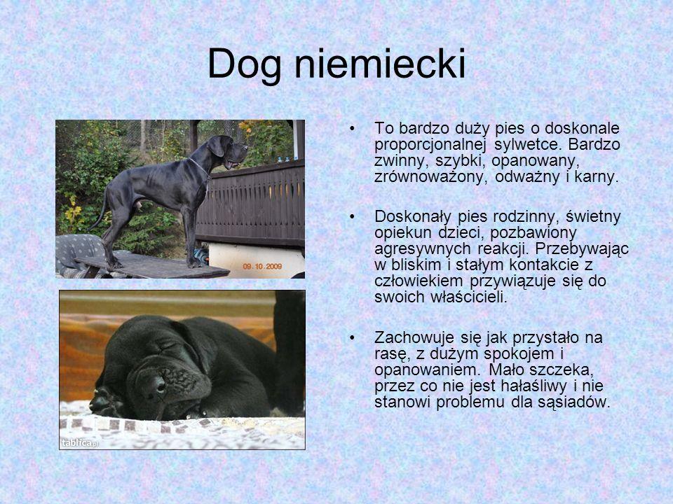 Dog niemiecki To bardzo duży pies o doskonale proporcjonalnej sylwetce. Bardzo zwinny, szybki, opanowany, zrównoważony, odważny i karny.