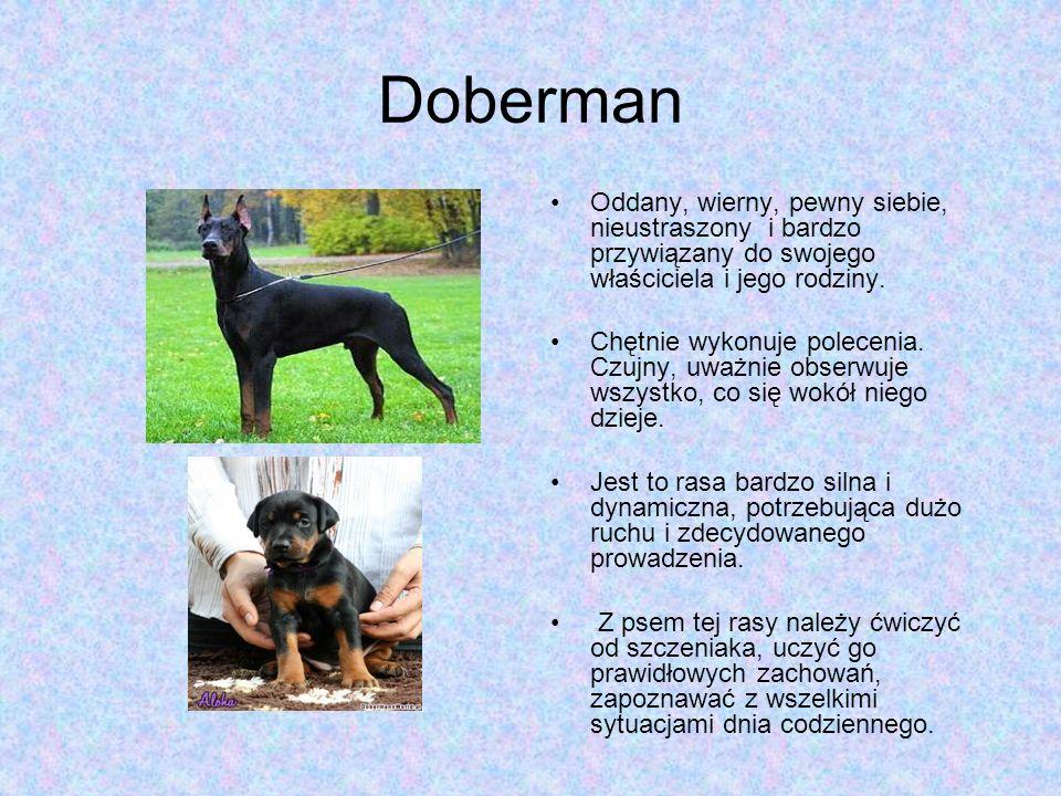 Doberman Oddany, wierny, pewny siebie, nieustraszony i bardzo przywiązany do swojego właściciela i jego rodziny.