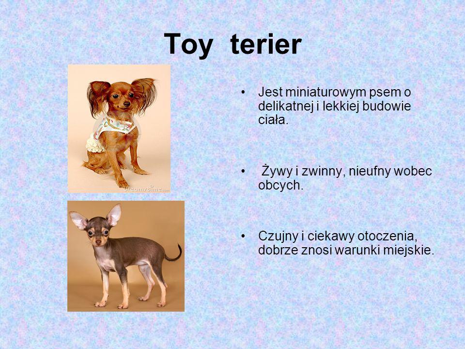 Toy terier Jest miniaturowym psem o delikatnej i lekkiej budowie ciała. Żywy i zwinny, nieufny wobec obcych.