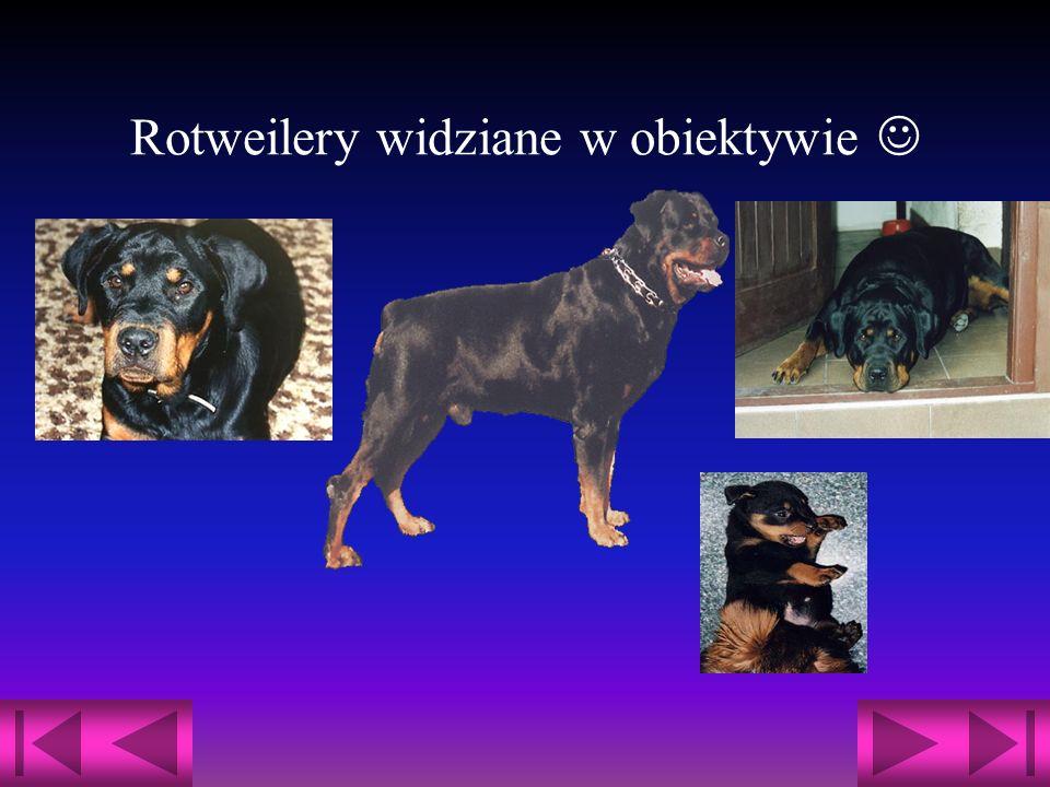 Rotweilery widziane w obiektywie 