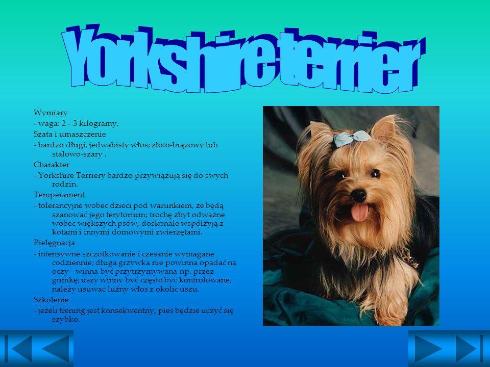 Yorkshire terrier Wymiary - waga: 2 - 3 kilogramy, Szata i umaszczenie