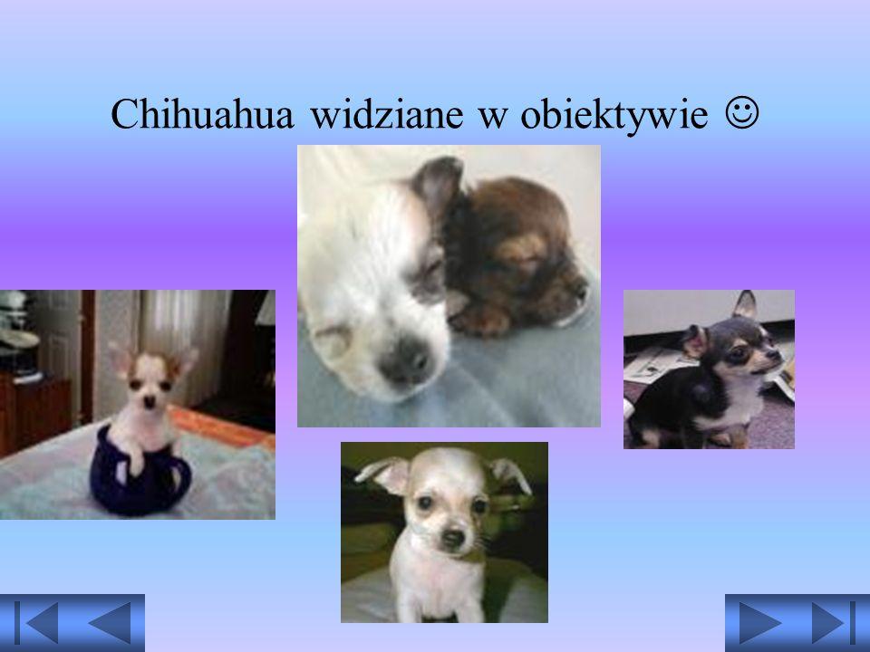Chihuahua widziane w obiektywie 