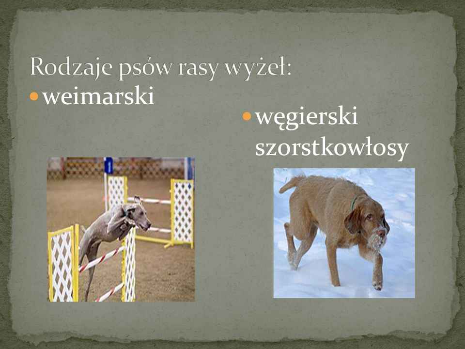 Rodzaje psów rasy wyżeł: