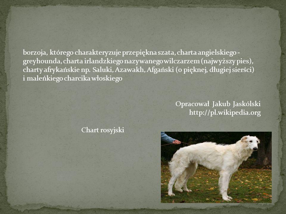 borzoja, którego charakteryzuje przepiękna szata, charta angielskiego - greyhounda, charta irlandzkiego nazywanego wilczarzem (najwyższy pies), charty afrykańskie np. Saluki, Azawakh, Afgański (o pięknej, długiej sierści) i maleńkiego charcika włoskiego