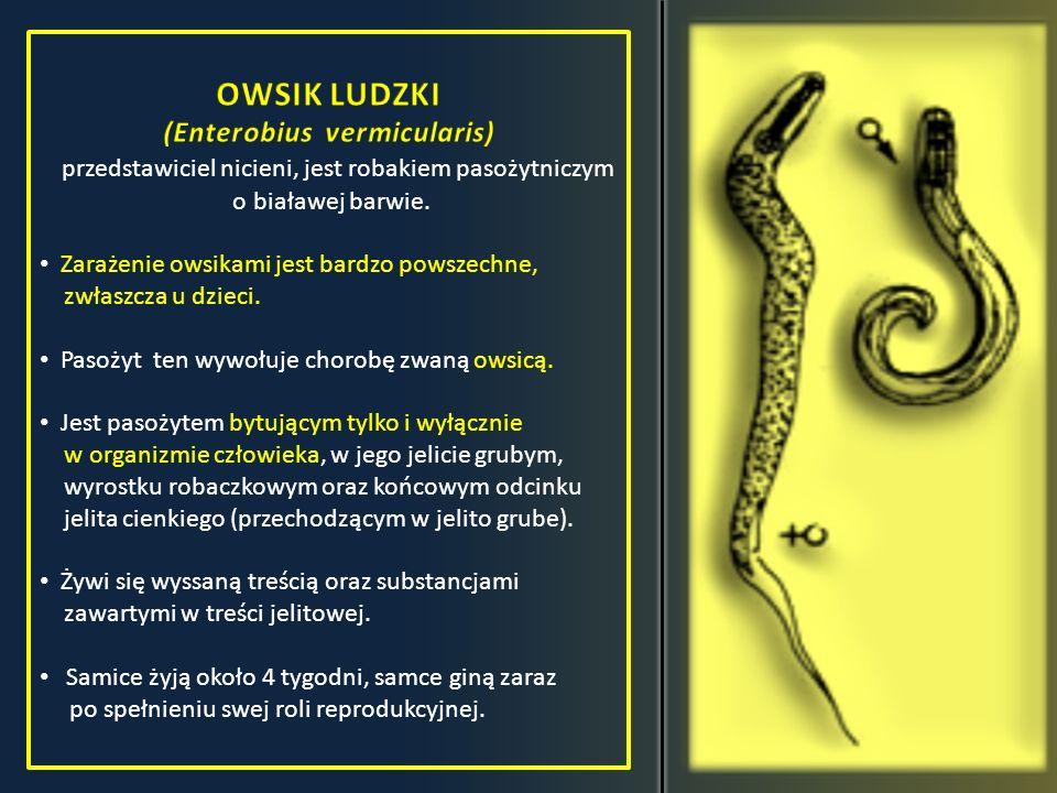 OWSIK LUDZKI (Enterobius vermicularis)