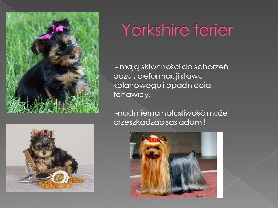 Yorkshire terier -nadmierna hałaśliwość może przeszkadzać sąsiadom !