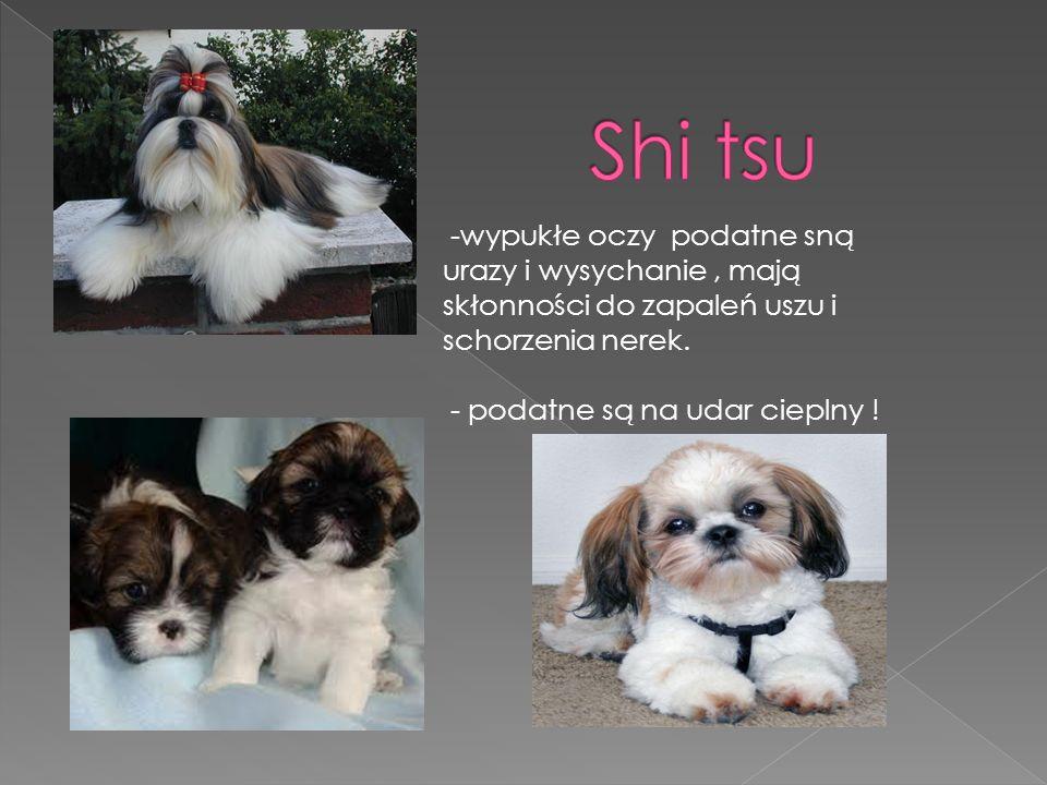 Shi tsu -wypukłe oczy podatne sną urazy i wysychanie , mają skłonności do zapaleń uszu i schorzenia nerek.