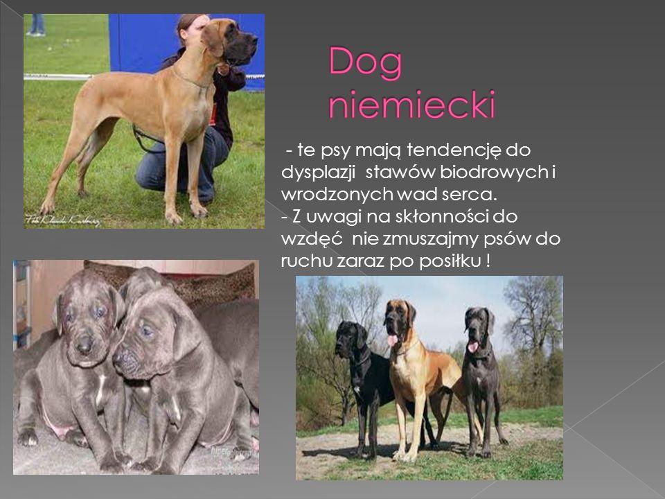 Dog niemiecki - te psy mają tendencję do dysplazji stawów biodrowych i wrodzonych wad serca.