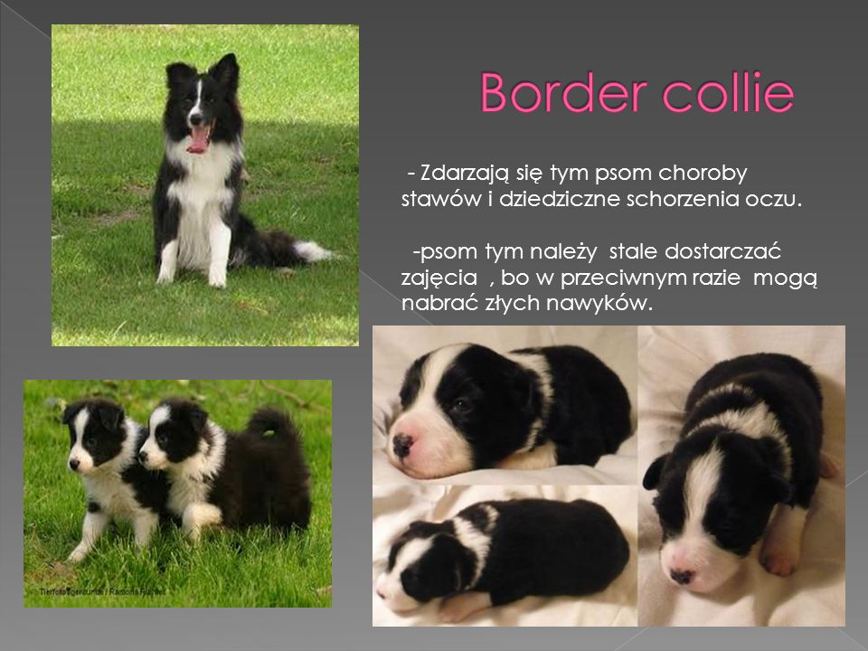 Border collie - Zdarzają się tym psom choroby stawów i dziedziczne schorzenia oczu.