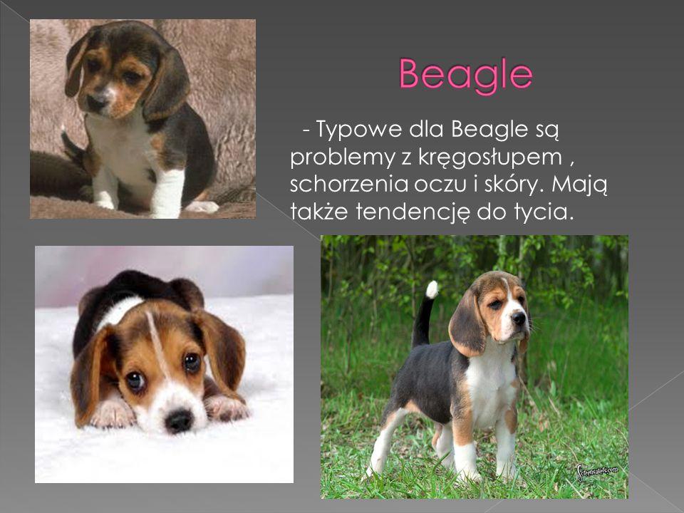 Beagle - Typowe dla Beagle są problemy z kręgosłupem , schorzenia oczu i skóry.
