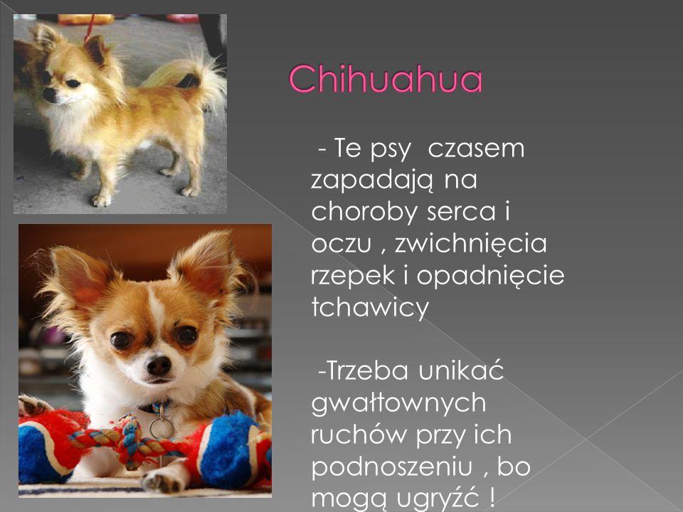 Chihuahua - Te psy czasem zapadają na choroby serca i oczu , zwichnięcia rzepek i opadnięcie tchawicy.