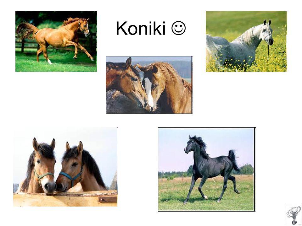 Koniki 