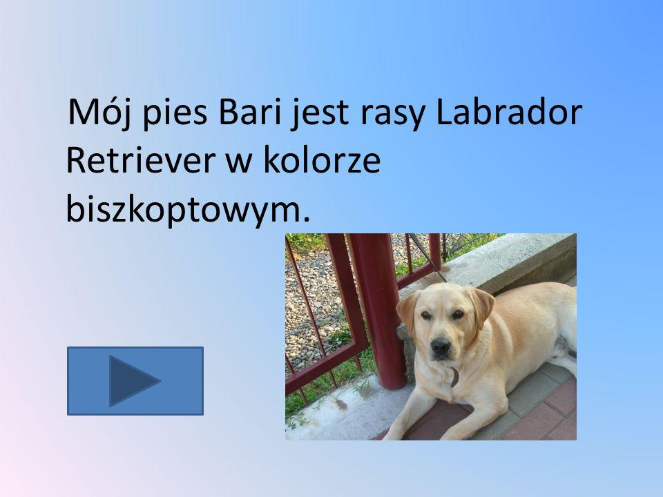 Mój pies Bari jest rasy Labrador Retriever w kolorze biszkoptowym.