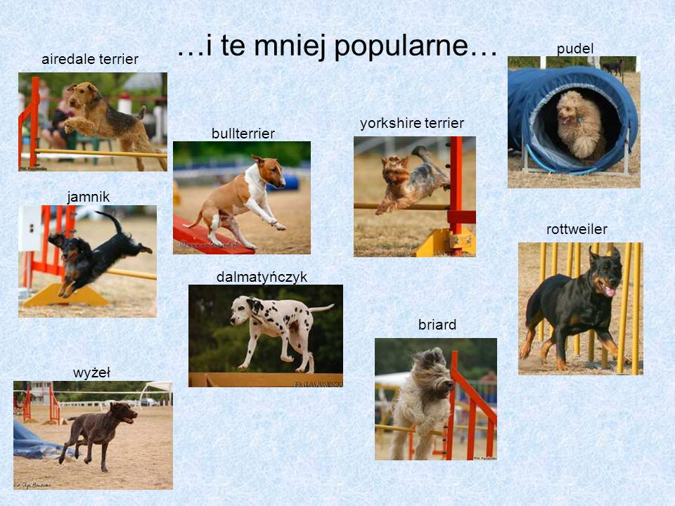 …i te mniej popularne… pudel airedale terrier yorkshire terrier