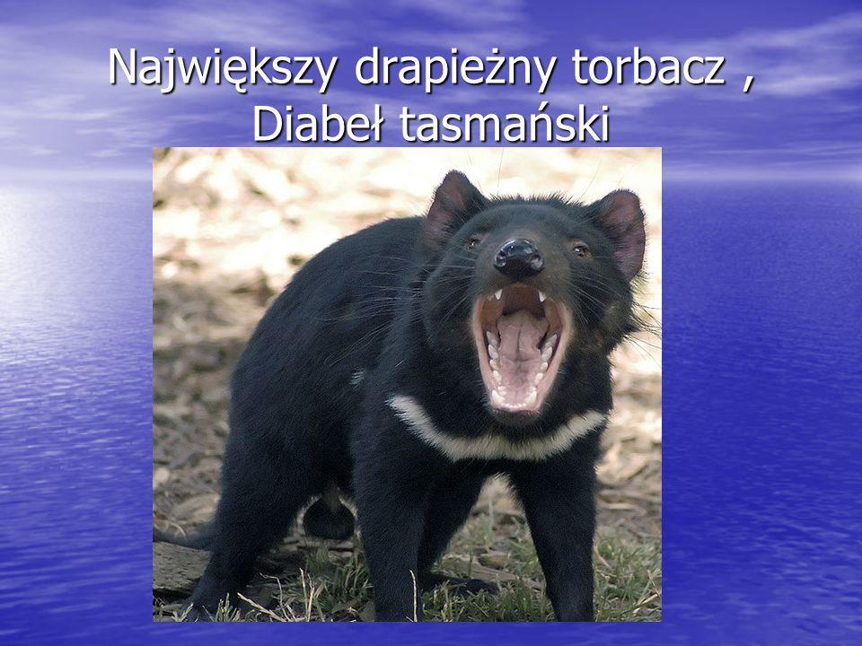 Największy drapieżny torbacz , Diabeł tasmański