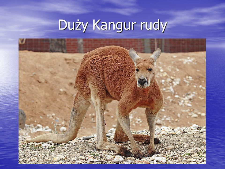 Duży Kangur rudy
