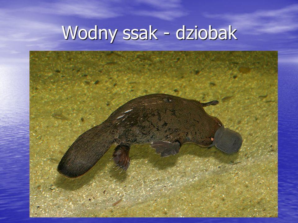 Wodny ssak - dziobak