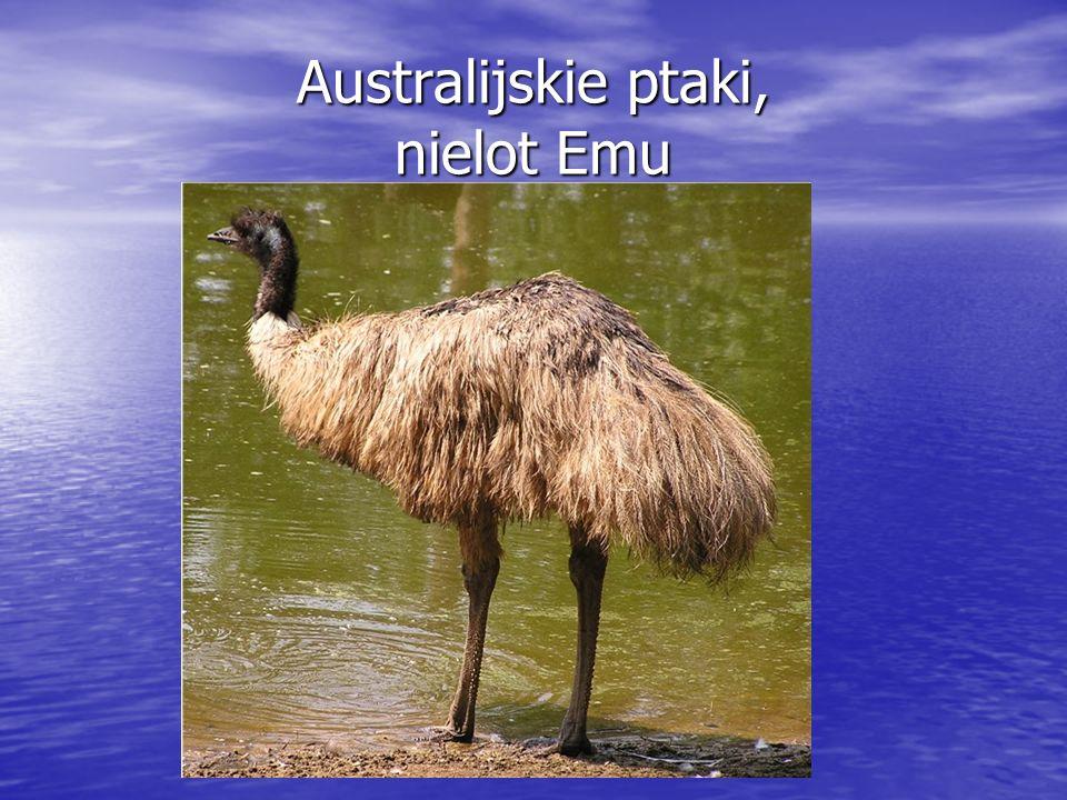 Australijskie ptaki, nielot Emu