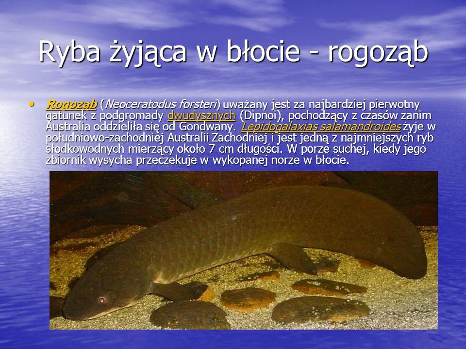 Ryba żyjąca w błocie - rogoząb