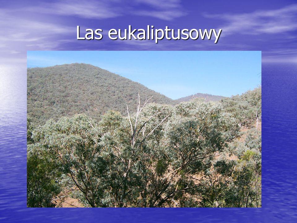 Las eukaliptusowy