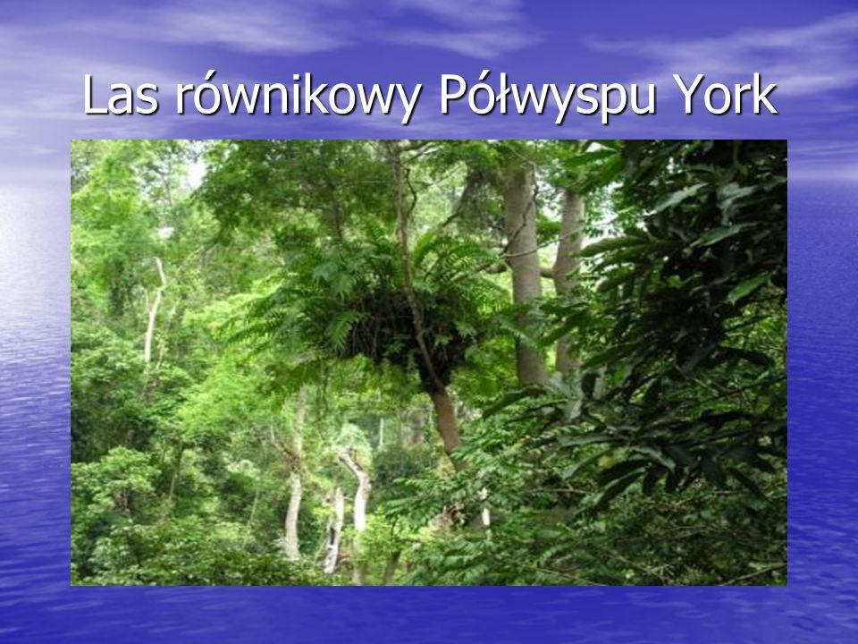 Las równikowy Półwyspu York