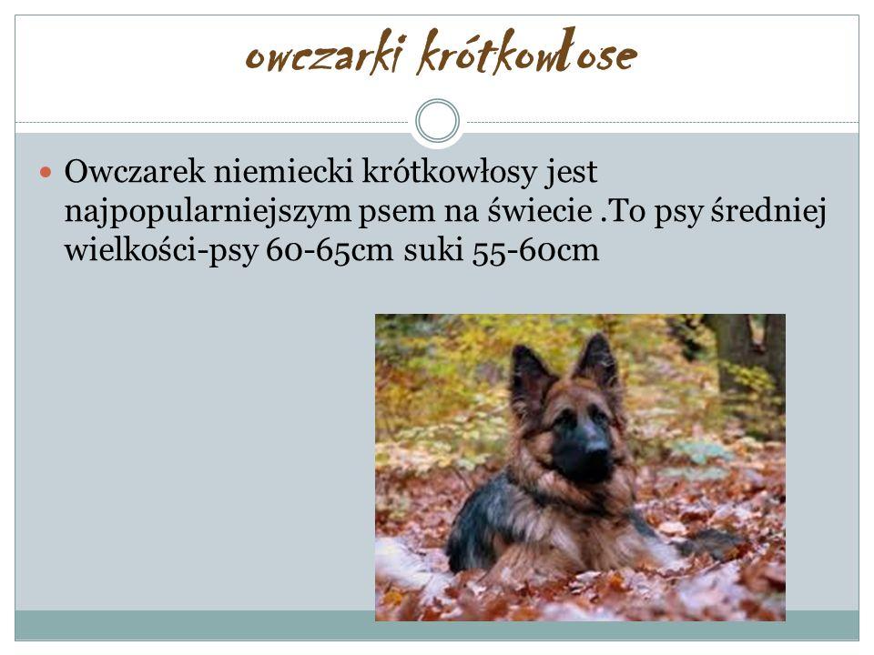 owczarki krótkowłose Owczarek niemiecki krótkowłosy jest najpopularniejszym psem na świecie .To psy średniej wielkości-psy 60-65cm suki 55-60cm.