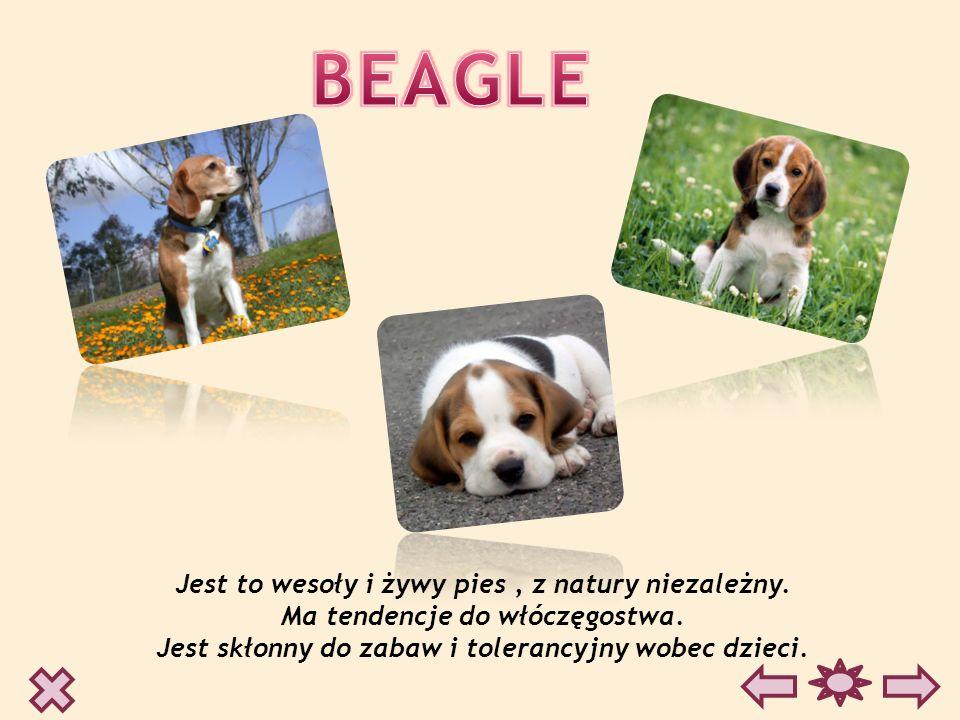 BEAGLE Jest to wesoły i żywy pies , z natury niezależny.