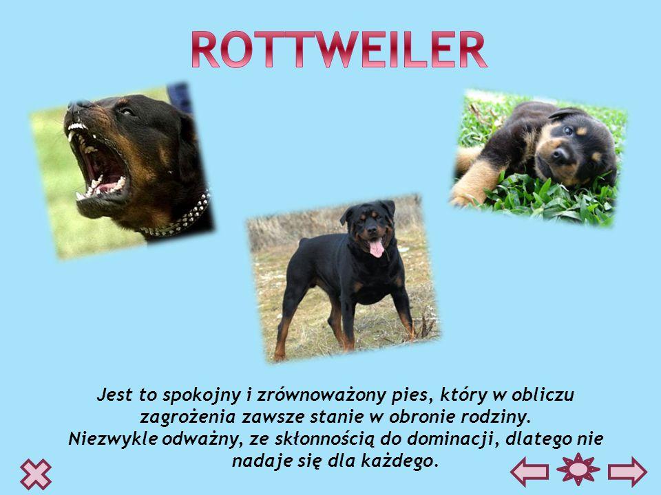 ROTTWEILERJest to spokojny i zrównoważony pies, który w obliczu zagrożenia zawsze stanie w obronie rodziny.