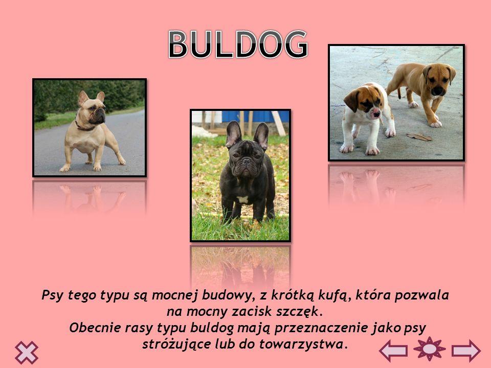 BULDOG Psy tego typu są mocnej budowy, z krótką kufą, która pozwala na mocny zacisk szczęk.