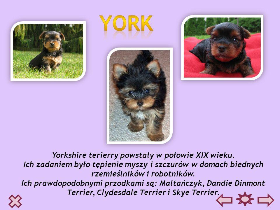 Yorkshire terierry powstały w połowie XIX wieku.