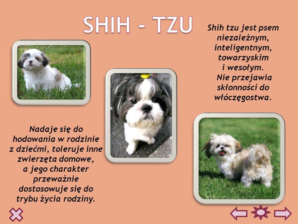SHIH - TZU Shih tzu jest psem niezależnym, inteligentnym, towarzyskim
