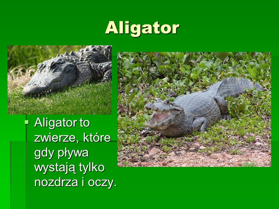 Aligator Aligator to zwierze, które gdy pływa wystają tylko nozdrza i oczy.