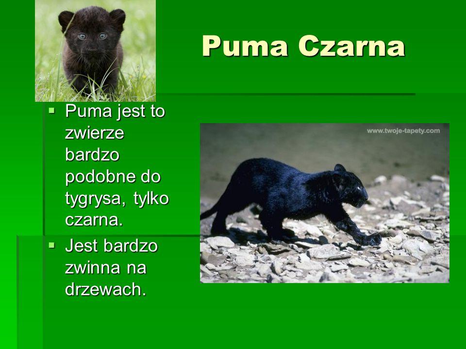 Puma CzarnaPuma jest to zwierze bardzo podobne do tygrysa, tylko czarna.