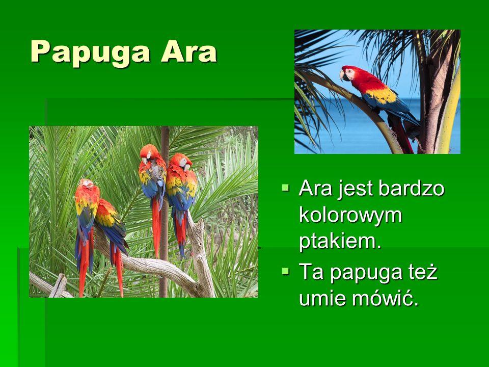 Papuga Ara Ara jest bardzo kolorowym ptakiem.
