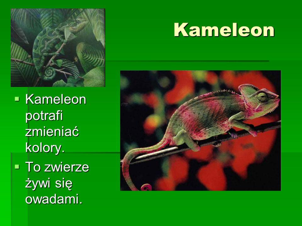 Kameleon Kameleon potrafi zmieniać kolory.